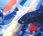 Koi definition by babylon s free dictionary for Koi fish life span