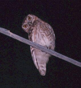 Little owl - English to English Translation