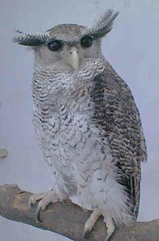 Eagle owl, oriental - English to English Translation