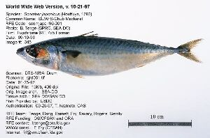 More details scientific name scomberomorus sierra for Sierra fish in english