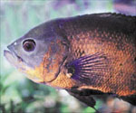 petsmart together with Rivergoods further Index php moreover  on oscar fish breeding habits